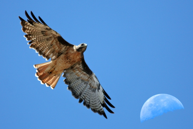 red-tailed_hawk_with_moon_over_estero_bay_ca_-_composition_red-tail-moon-composite-2630s_2832366091329
